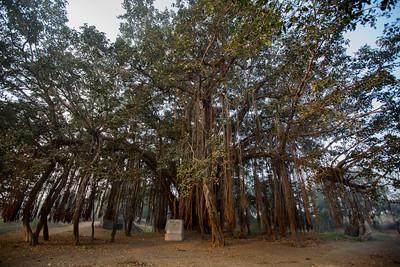 Day 10 - Gajera. Gandhi's day halt where he spoke under this Banyan tree. The Salt March Route, 2014, Gujarat, India.