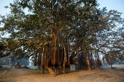 Day 10 - Gajera. Gandhi's day halt where he spoke under this Banyon tree. The Salt March Route, 2014, Gujarat, India.
